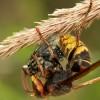 В Стране Басков появились опасные азиатские осы