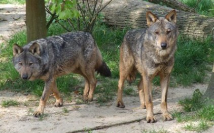Волки в Кастилье и Леоне наносят ущерб, в размере 100 тысяч евро