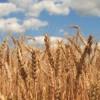 В Испании хорошие виды на урожай зерновых