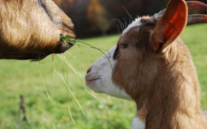 Португальские производители козьего сыра нацелены на Испанию