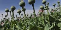 Бежа: опиумный мак в индустриальных масштабах
