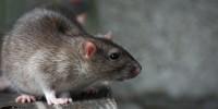 Премия за фото самой страшной крысы нью-йоркского метро
