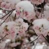 Несмотря на рекордные морозы и снег, в Японии расцвела сакура