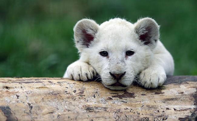 В Испании впервые родился львёнок-альбинос
