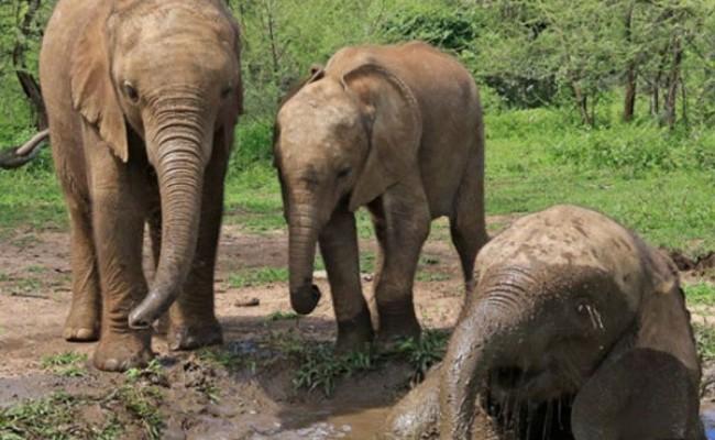 Загадочные смерти слонов в Ботсване