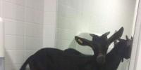 Испания: в госпиталь La Fé в Валенсии пришла коза