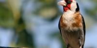 В Каталонии разрешат ловить певчих птиц
