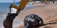 В Испании найдена гигантская 700-килограммовая черепаха