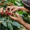 Предсказано полное исчезновение кофе