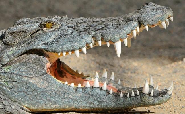 Крокодилы выгнали жителей деревень из домов