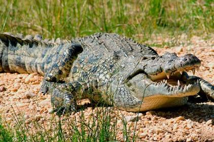На северо-западе Испании пытаются найти и поймать нильского крокодила