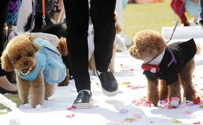 В Италии собакам запретили носить кольца на свадьбах