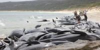 В Австралии более 150 дельфинов выбросились на берег