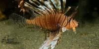 В итальянских водах замечена рыба-скорпион