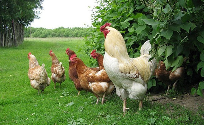Испания: Бенальмадена переживает куриное нашествие