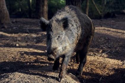 Португалия: незаконная охота на кабанов