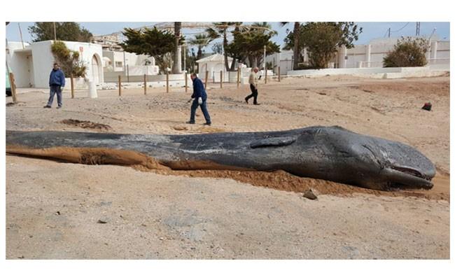 В Испании нашли метрового кашалота с 29 кг пластика в желудке
