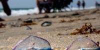 Португалия: на пляжах страны появились ядовитые «португальские кораблики»