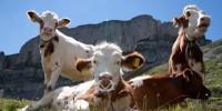 Швейцарская армия поможет коровам