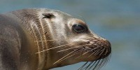 В американском зоопарке поселился слепой морской лев