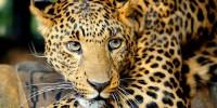 Леопард пять часов бесчинствовал в индийском городе