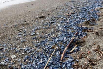 Испания: на пляжи Коста-Брава выбросило тысячи медуз