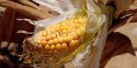 Италия: ученые признали безопасность ГМ-кукурузы
