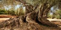 Испания: путешествие к тысячелетним оливковым деревьям