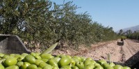 Испания: туристический маршрут по оливковым плантациям