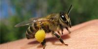 Испанка скончалась от лечения пчелиным ядом