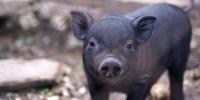 В Испании задержали мужчину за жестокое обращение со свиньями