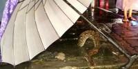 Толстый трехметровый питон застрял в канализационном люке