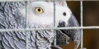 Попугай может дать показания против убийцы