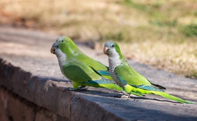 Испания: в Мадриде открыли охоту на шумных попугаев