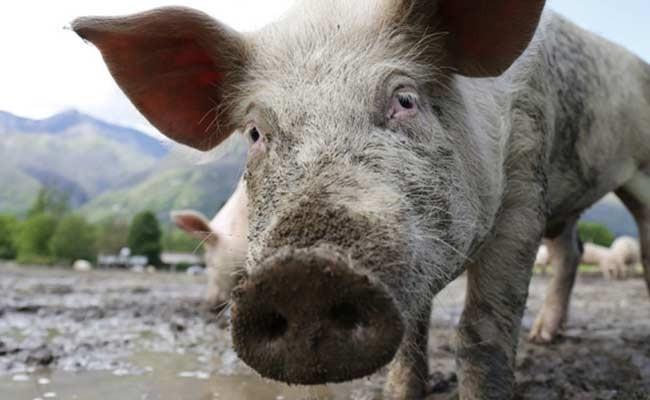 Мексиканский фермер погиб после пьяной драки со свиньей