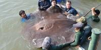 В Таиланде поймали крупнейшую пресноводную рыбу в мире
