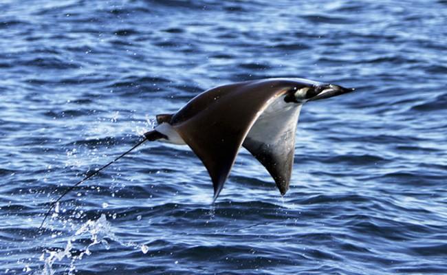 Италия: Полеты скатов в Лигурийском море