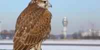 Испания: соколы защитят самолеты от птиц в аэропорту Малаги