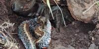 Ученые впервые задокументировали случай поедания тарантулом змеи