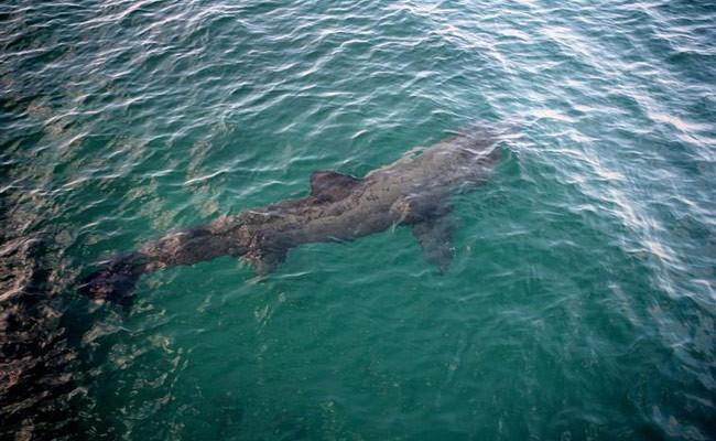 Португалия: у берегов Алгарве заметили гигантскую акулу