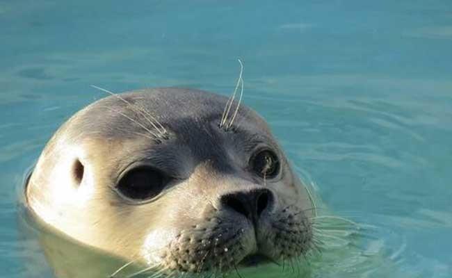 Швецию заполонили тюлени