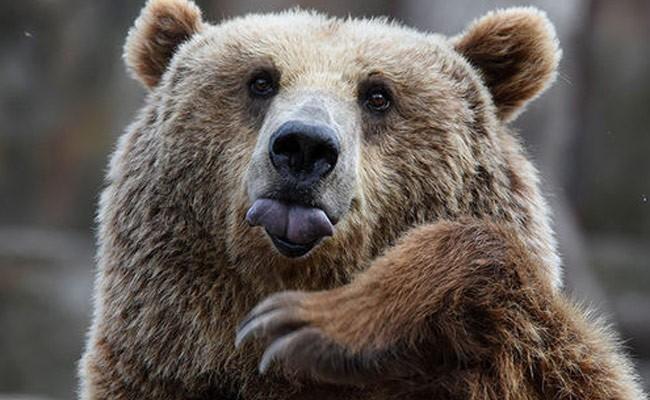 Впервые за 175 лет в Португалии появился медведь