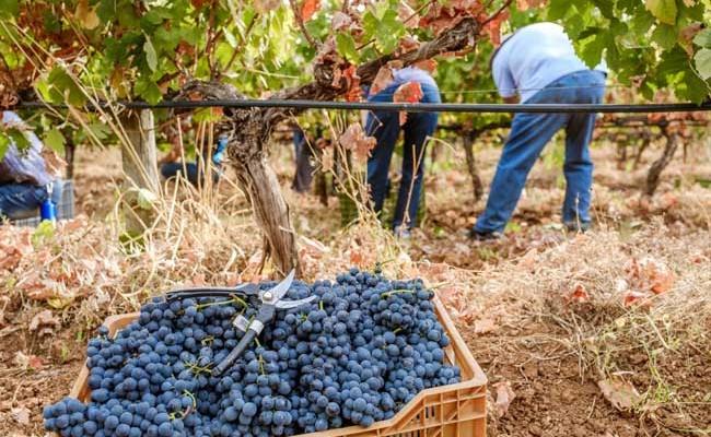 Португальцы – самые большие любители вина в мире