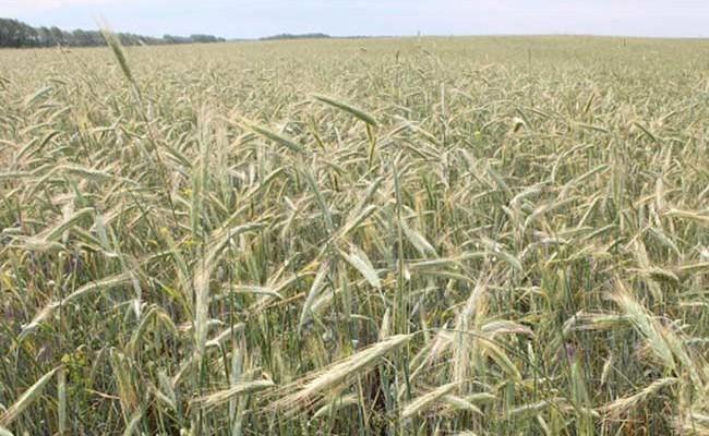 Засуха привела к неурожаю зерна в Испании